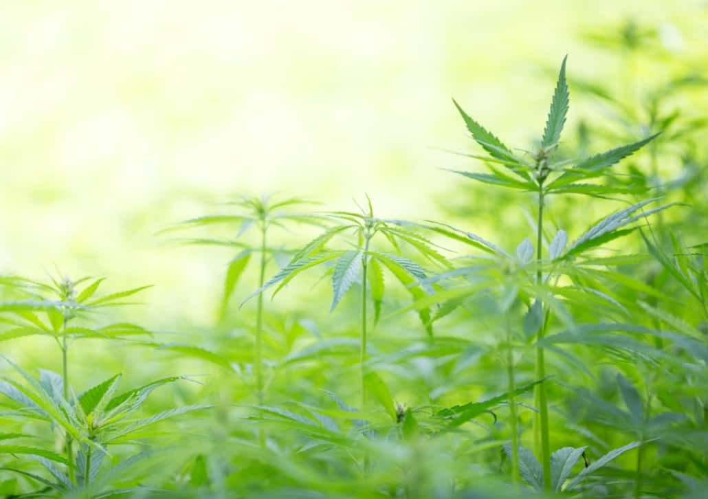 cannabis plants growing in field
